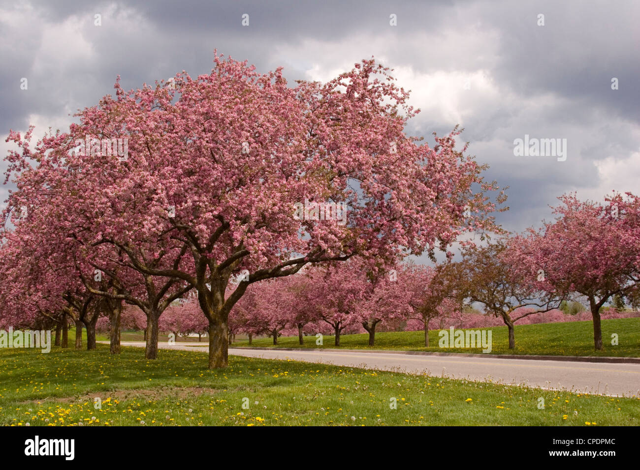 crab apple blossoms trees lane colorful pink flowers spring - Stock Image