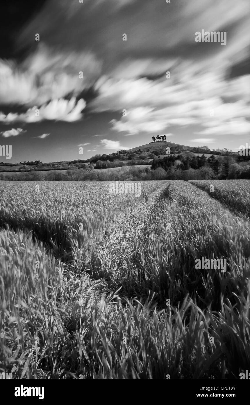A Long exposure looking though a wheat field near symondsbury with colmers hill in the distance - Stock Image
