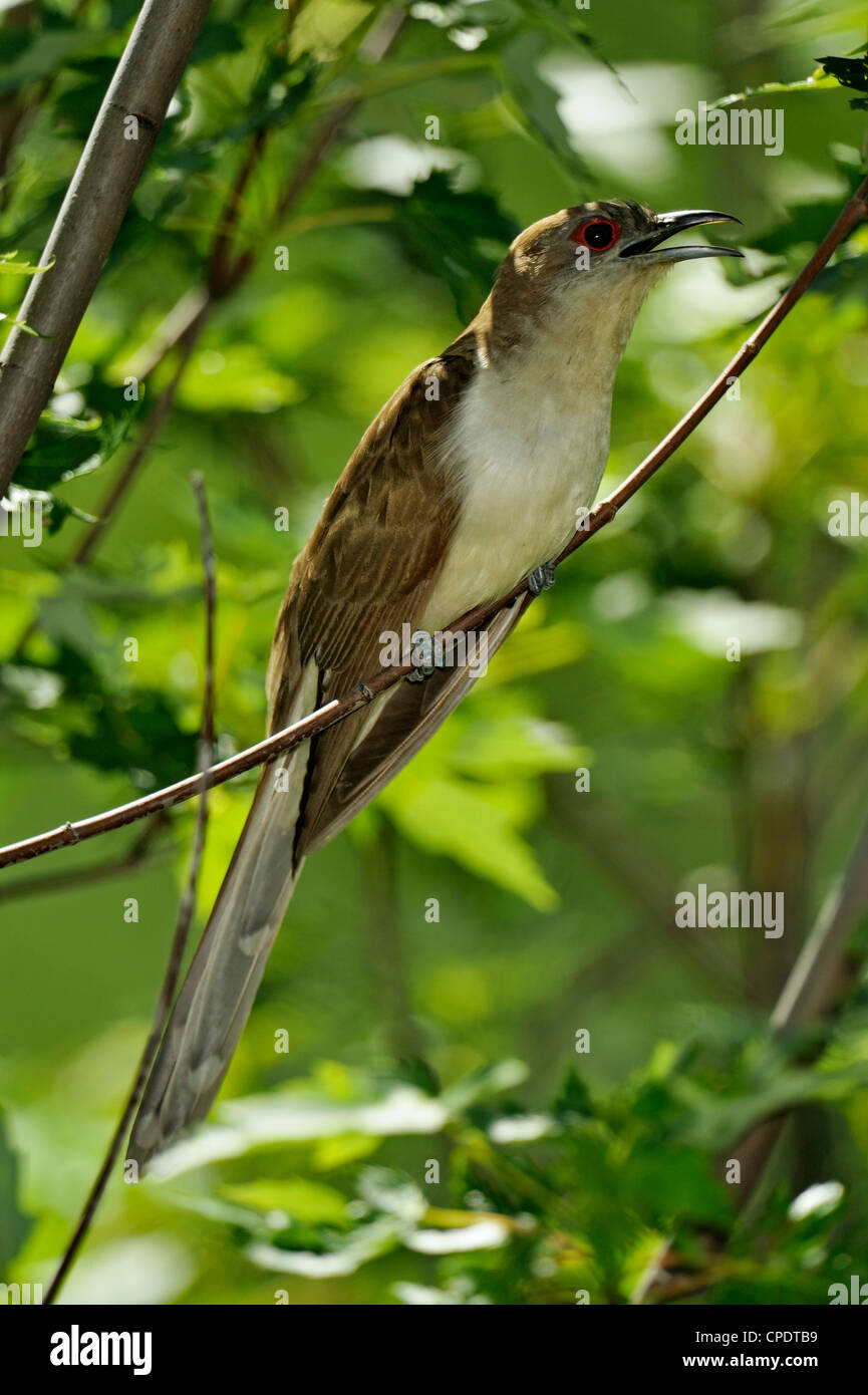 Black Billed Cuckoo Coccyzus Erythropthalmus Greater Sudbury Lively Ontario