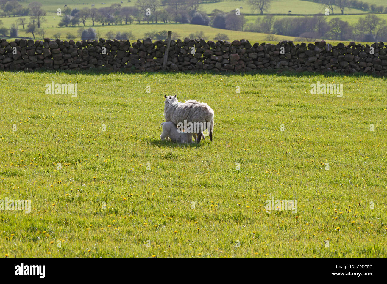 Ewe and suckling lamb in field near Leek, Staffordshire, Peak District National Park, England, UK. - Stock Image