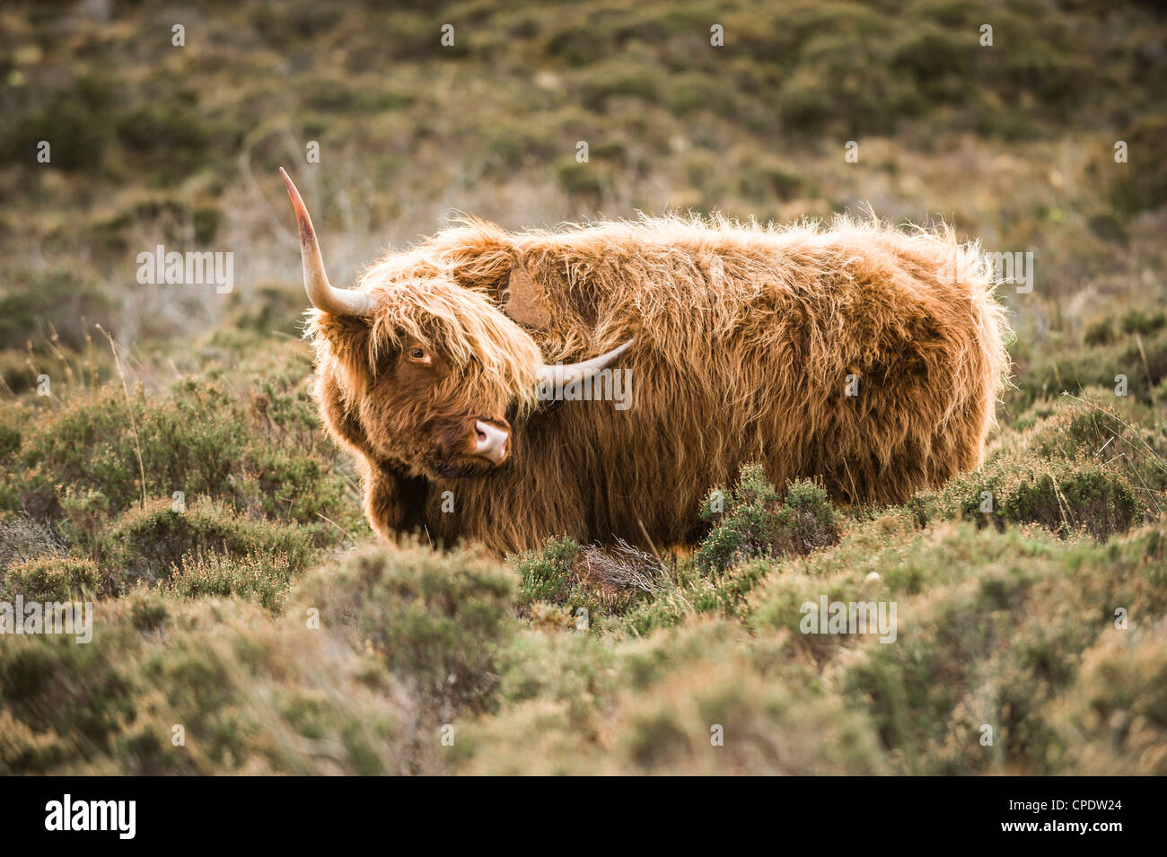 Highland Cattle having a scratch on the Isle of Skye, Scotland - Stock Image