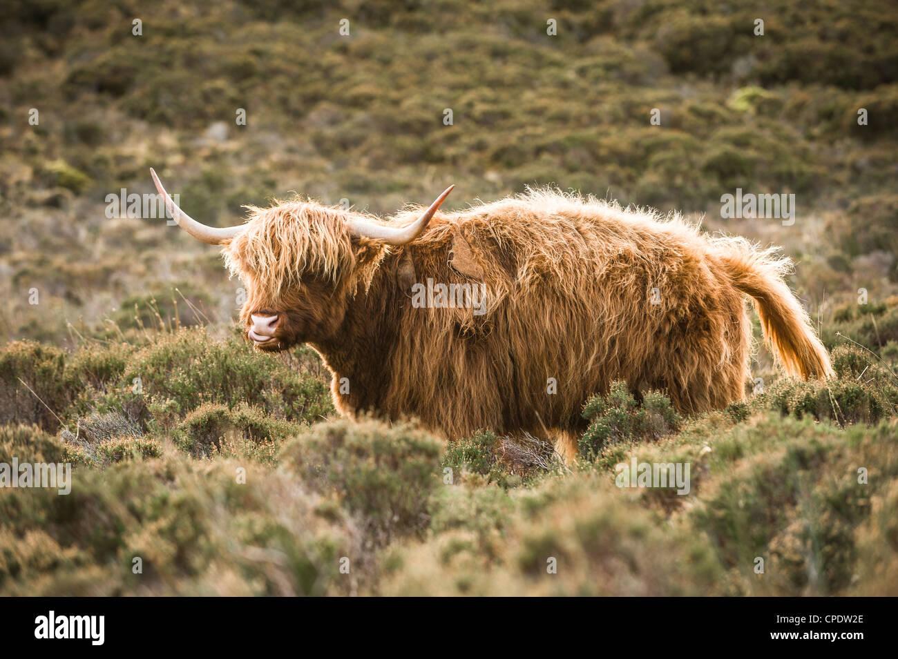 Highland Cattle licking its lips on the Isle of Skye, Scotland - Stock Image