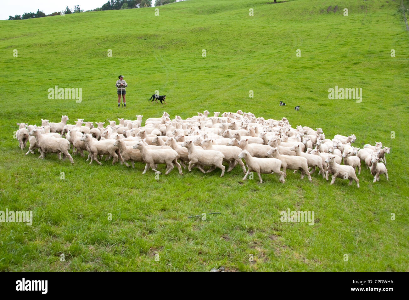 New Zealand North Island near Wellington, shepherd and sheep dogs herd sheep near Wool Shed in Wairarapa Stock Photo
