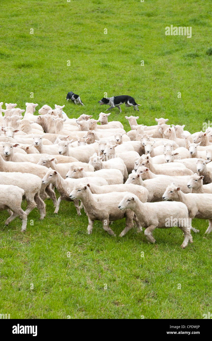 New Zealand North Island near Wellington, shepherd and sheep dogs herd sheep near Wool Shed in Wairarapa Stock Photo