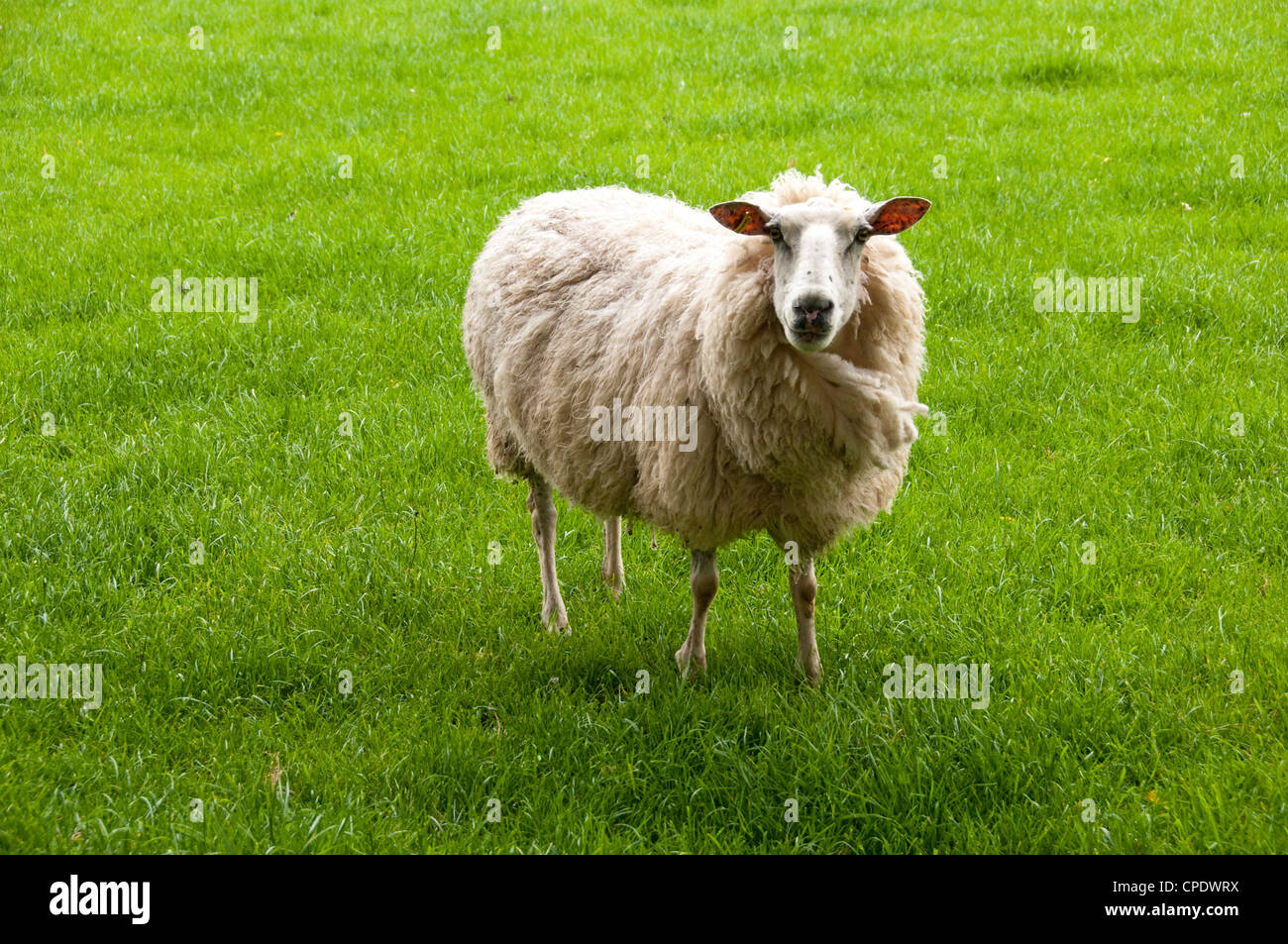New Zealand North Island near Wellington,  sheep milking at artisan cheese maker Kingsmeade in Wairarapa - Stock Image