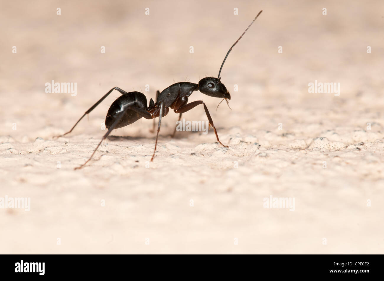 Carpenter ant isolated on white background. This ant is a major pest on houses - Stock Image