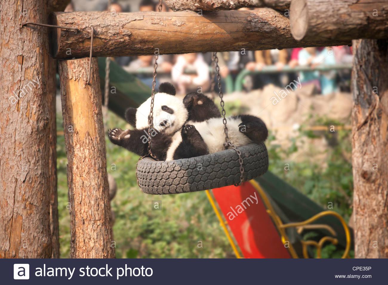 Giant panda (Ailuropoda melanoleucabear) swinging in a tyre swing, Beijing zoo, Beijing, China, Asia - Stock Image