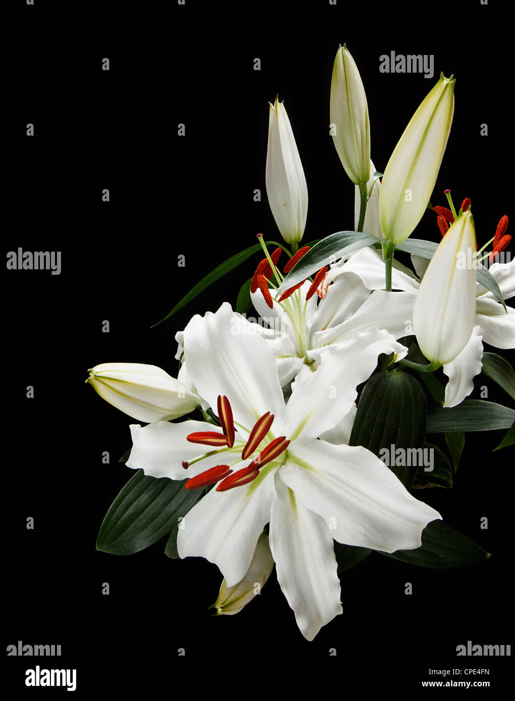 Bunch of white lilies popular at weddings and funerals, isolated on a black background - Stock Image