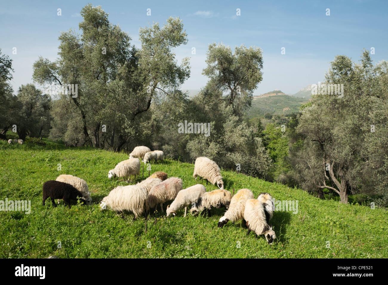 Sheep in olive grove, Patsos, Rethimnon (Rethymno) region, Crete, Greek Islands, Greece, Europe - Stock Image