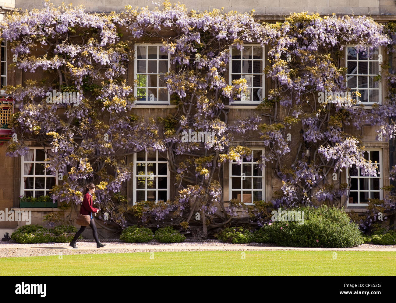 A student walking in Christs College Cambridge University in front of wisteria in spring, UK - Stock Image