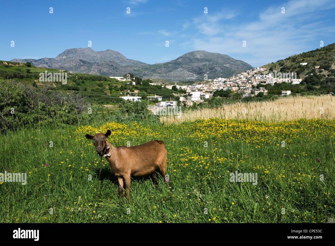 Goat in spring meadow, Agios Stefanos, near Pefki, Lasithi region, Crete, Greek Islands, Greece, Europe - Stock Image