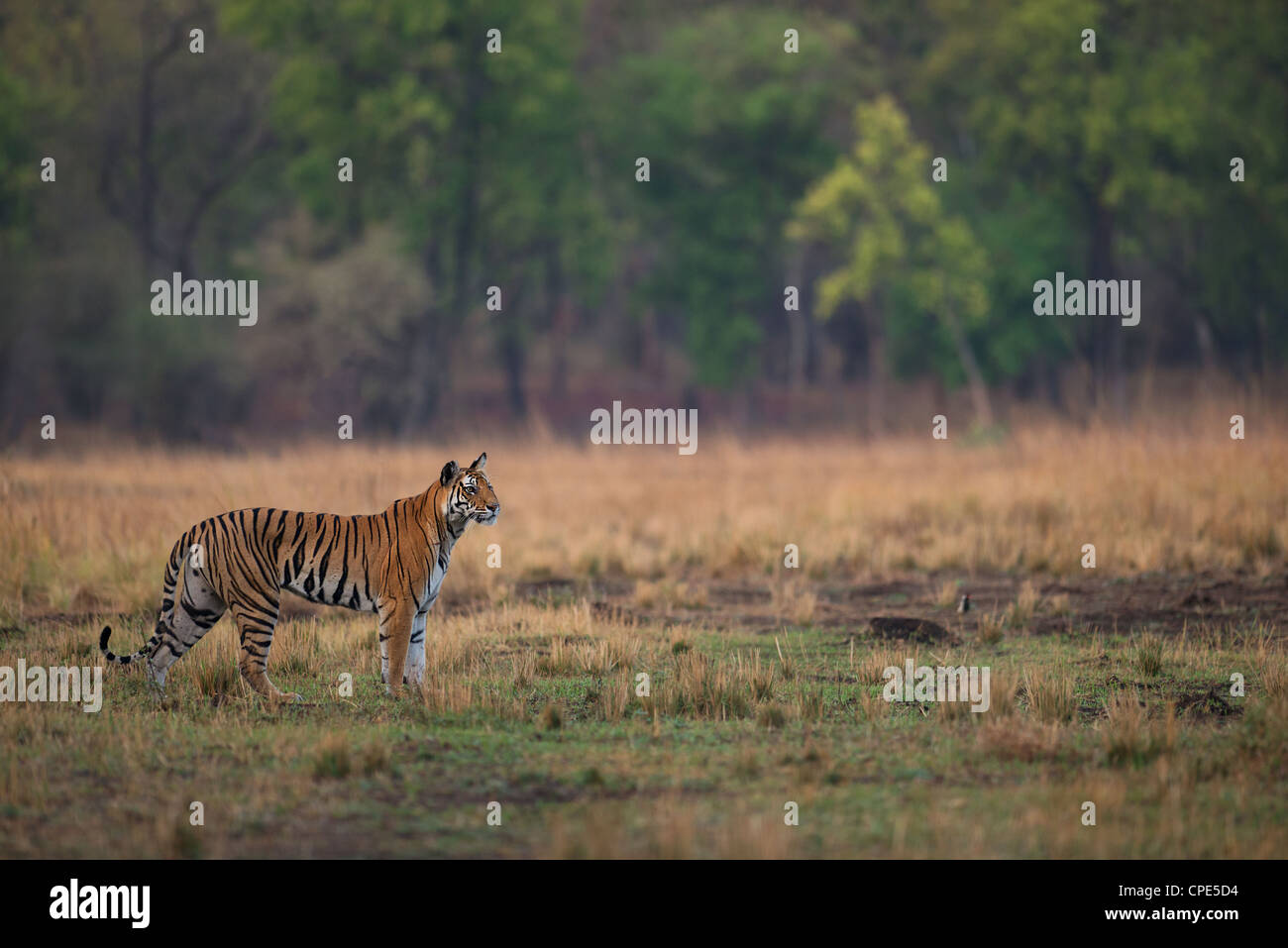 Adult female Bengal Tigress on a hunt in an open grassland in Bandhavgarh Tiger Reserve, Madhya Pradesh, India - Stock Image