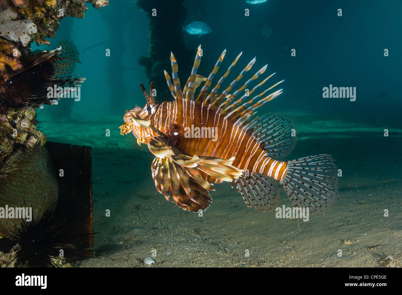 A lionfish swims underneath a hotel jetty on a gloomy afternoon - Stock Image