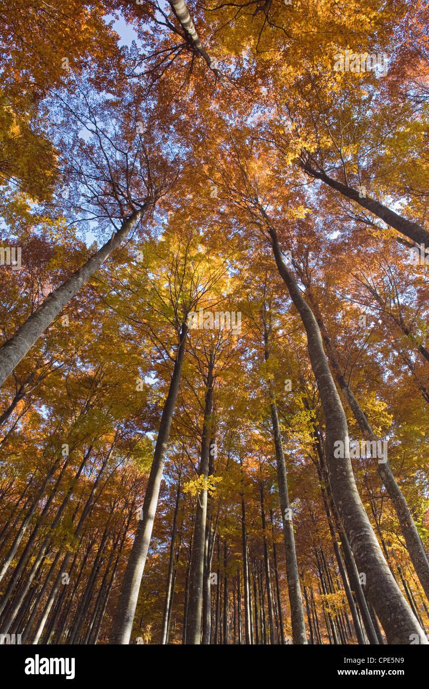 Autumn colours in a beech tree forest in the Julian Alps, Goriska, Slovenia, Europe - Stock Image
