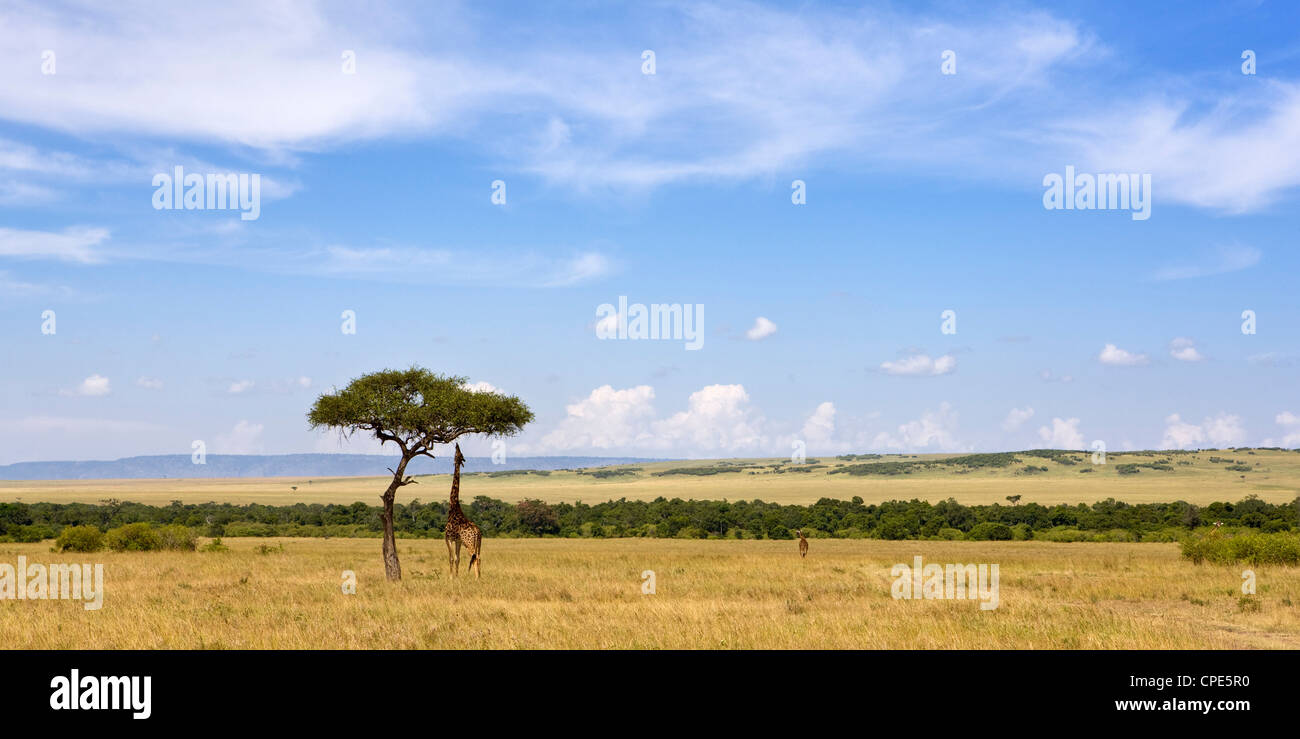 Masai giraffes grazing in the Masai Mara National Reserve, Kenya, East Africa, Africa - Stock Image