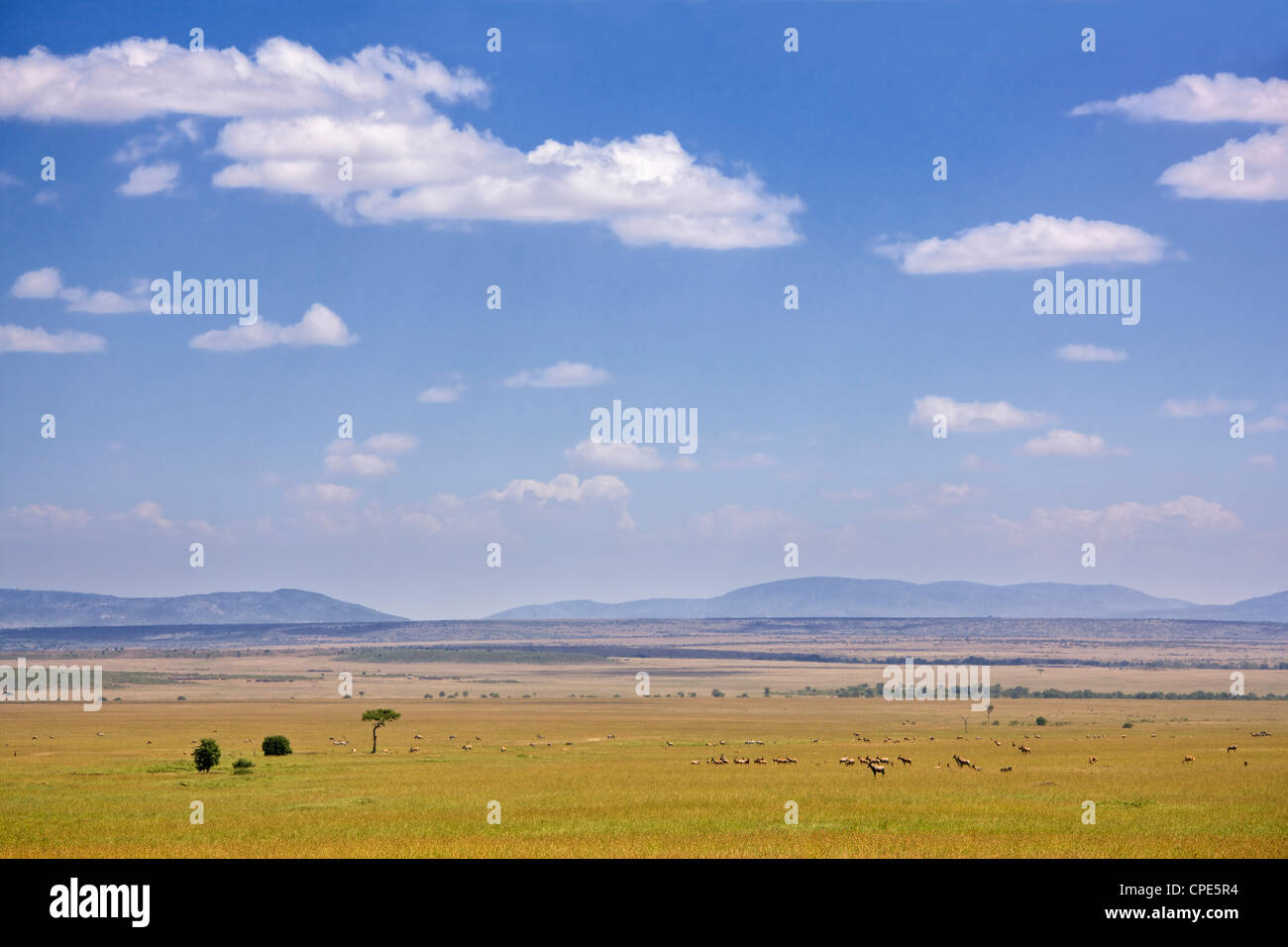 Zebra, topi and other antelope on the plains of the Masai Mara, Kenya, East Africa, Africa - Stock Image