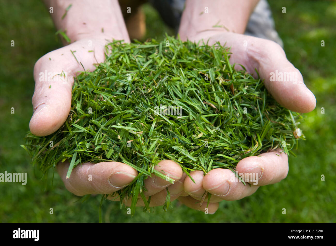 Close up of Caucasian mans hands holding freshly cut grass cuttings - Stock Image