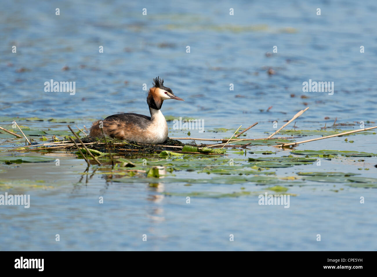 Great Crested Grebes at the nest - Stock Image
