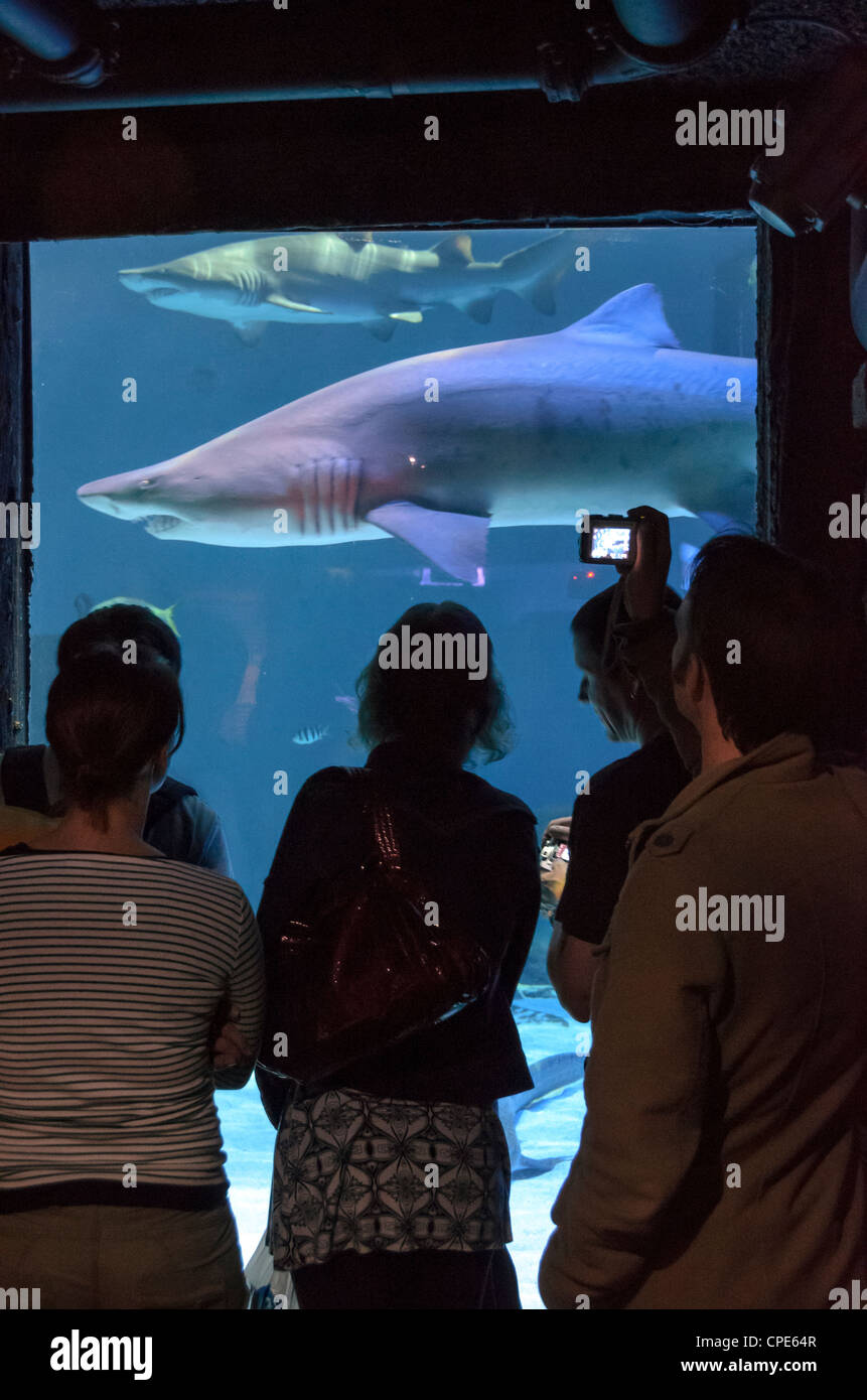 People watching a shark in the Sea Life London Aquarium - Stock Image
