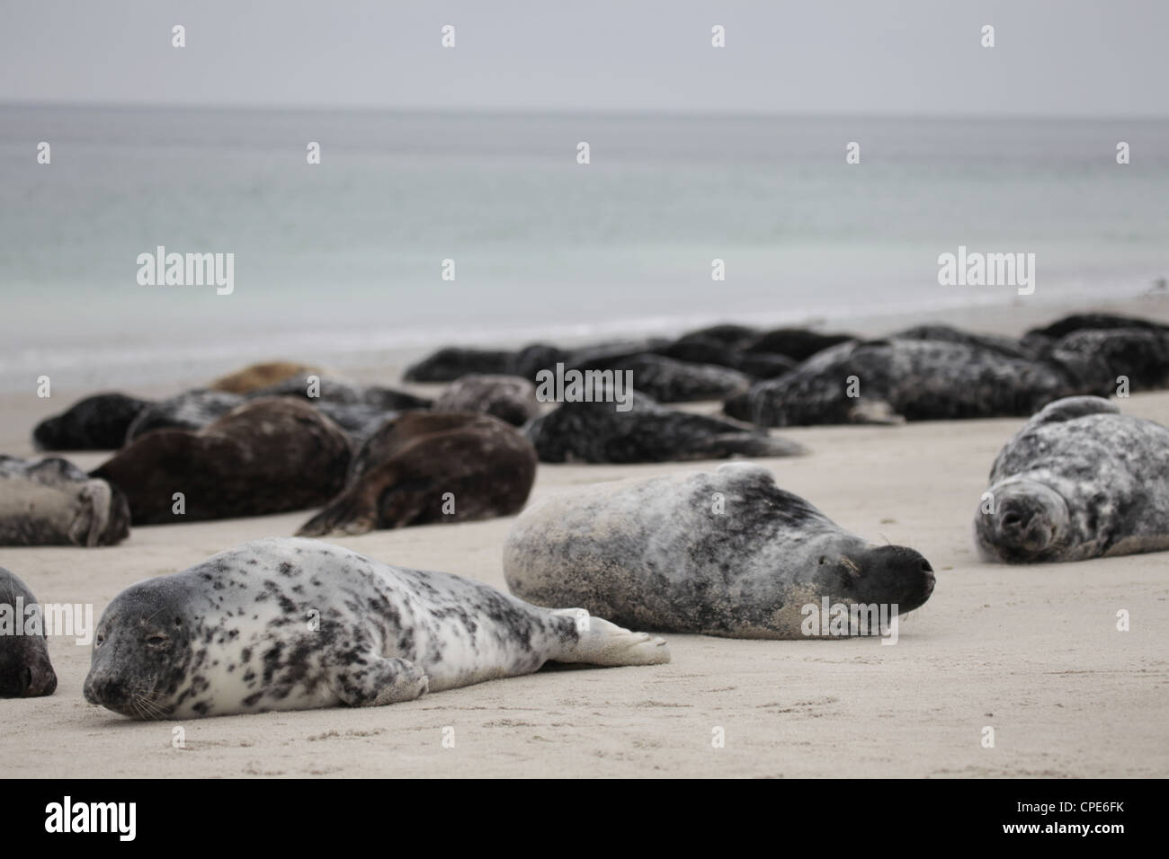 A group of grey seals Halichoerus grypus lying on the beach of Helgoland, North Sea - Stock Image