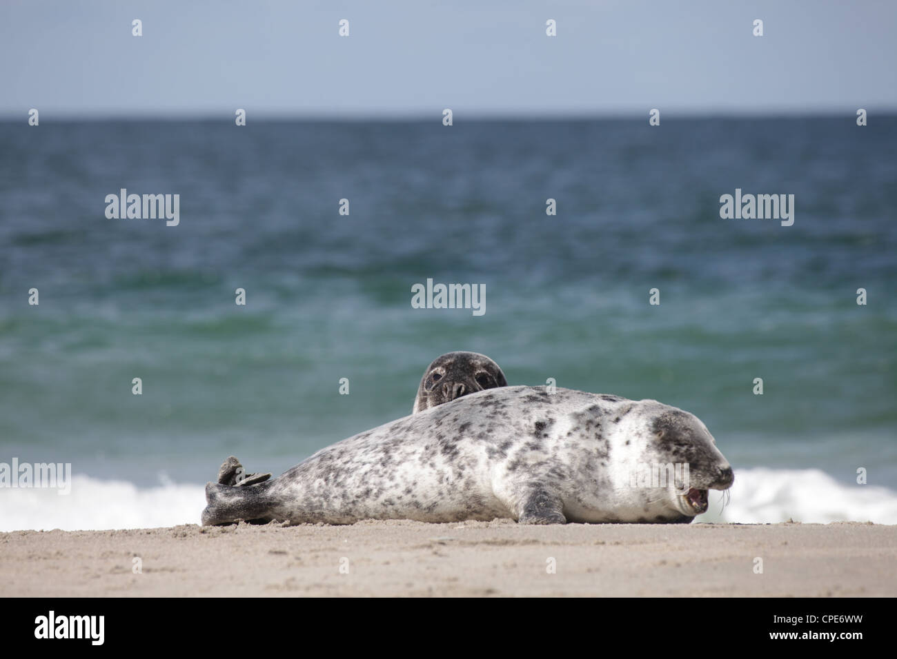 A pair of juvenile grey seals Halichoerus grypus lying on the beach of Helgoland, North Sea - Stock Image