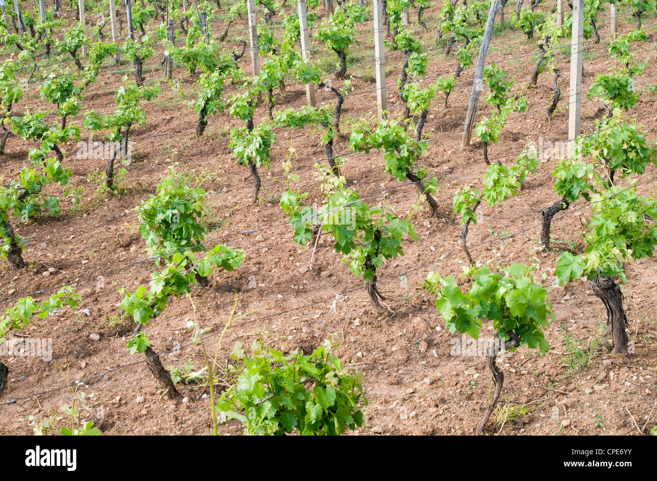 young vines in vineyard vineyards wine production grower growing immature grape grapes Stock Photo