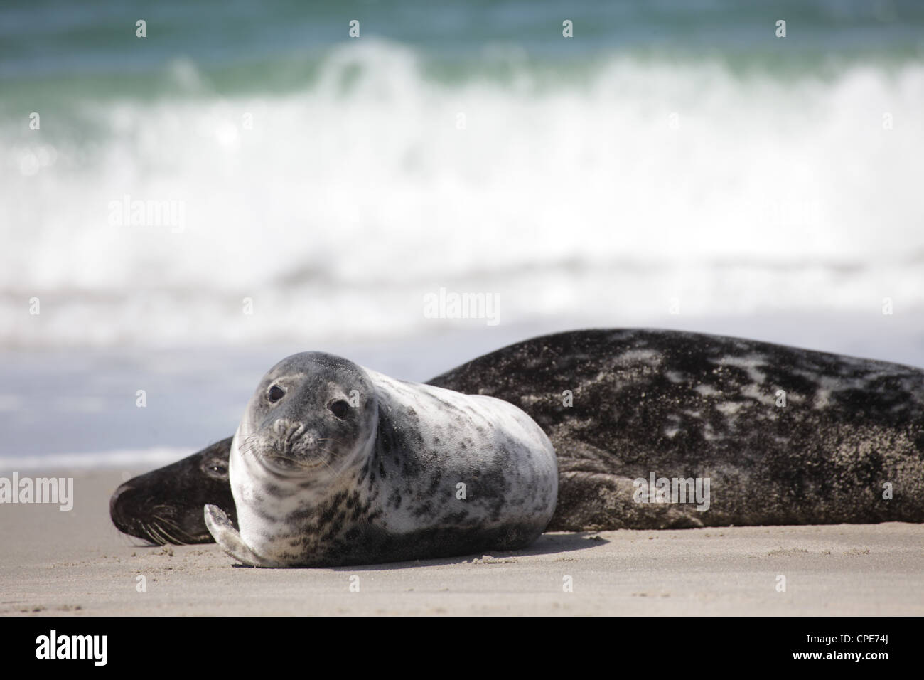 A pair of a juvenile and adult grey seals Halichoerus grypus lying on the beach of Helgoland, North Sea - Stock Image