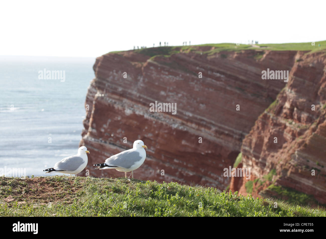 A pair of sea gulls on the cliff-tops with tourists watching birds on Helgoland, Germany, North Sea - Stock Image