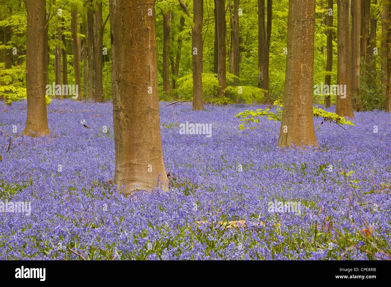 Bluebells beneath trees, West Woods, Wiltshire, England, United Kingdom, Europe Stock Photo