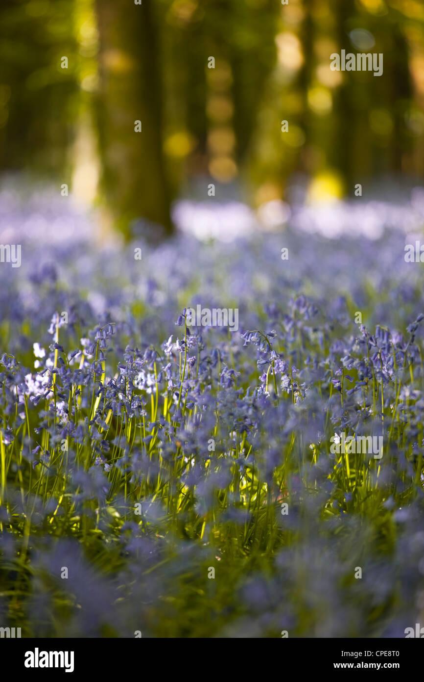Bluebells, Hillfield Hill, Dorset, England, United Kingdom, Europe - Stock Image