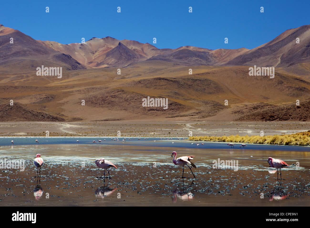 Flamingos drinking in a lagoon, South West Bolivia, South America - Stock Image