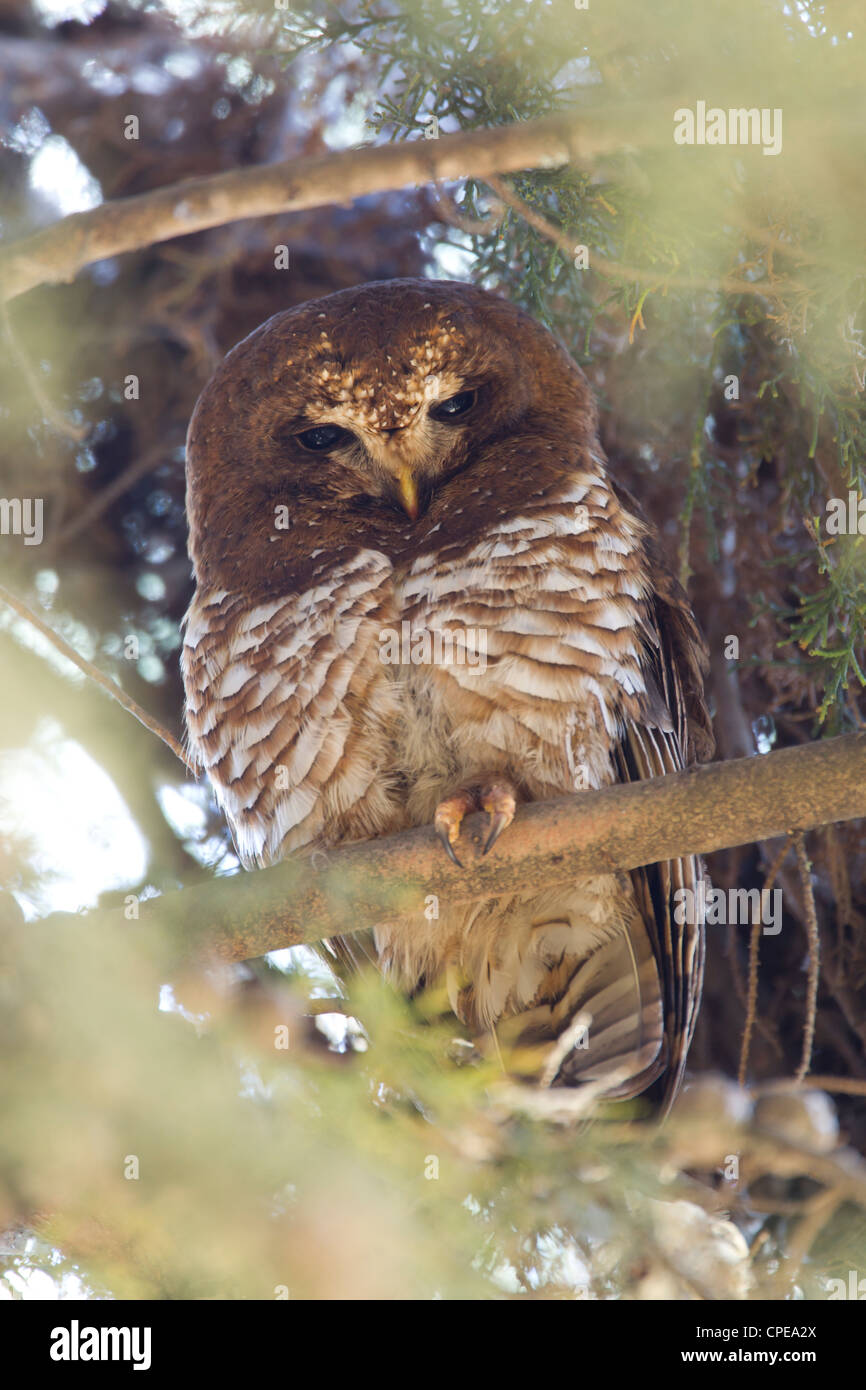 African Wood Owl Strix woodfordii roosting at Dinsho Lodge, Ethiopia in March. - Stock Image