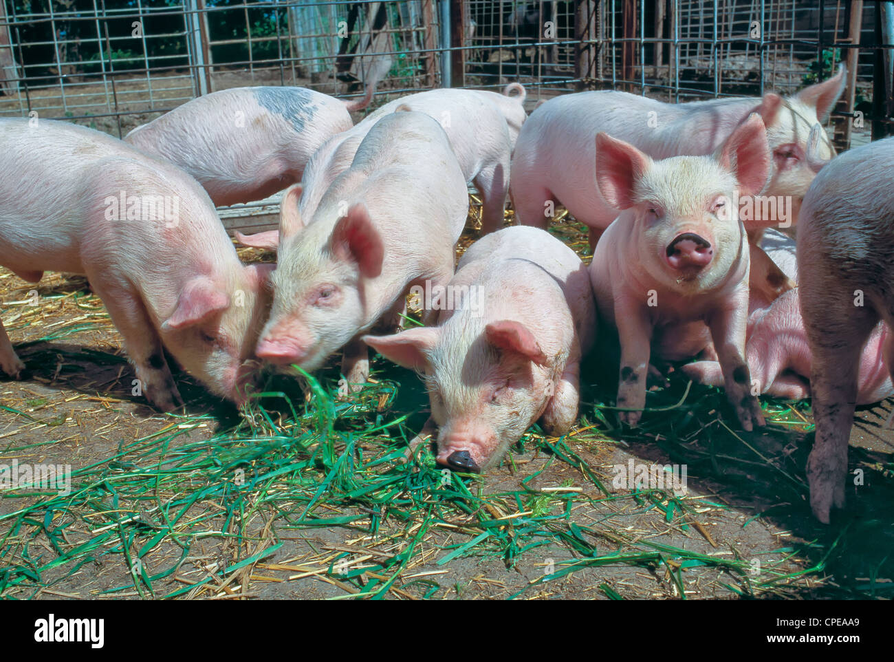 Juvenile hogs 'Yorkshire' feeding in pen. - Stock Image