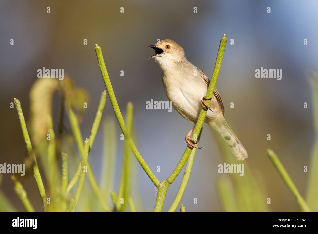 Rattling Cisticola Cisticola chiniana singing from vegetation in graveyard, Negele, Ethiopia in March. - Stock Image