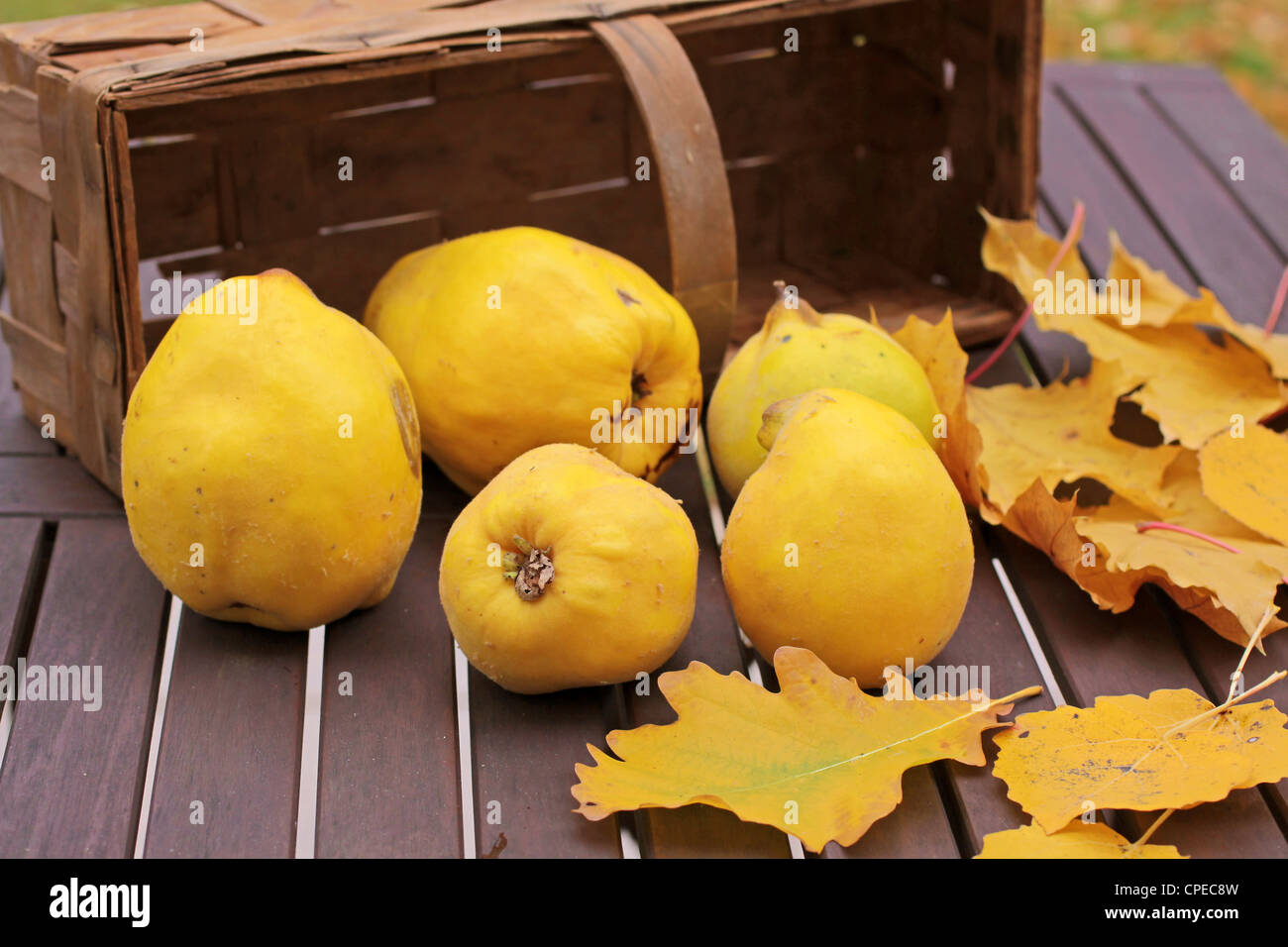 Basket of quinces and autumn leaves on garden table Stock Photo