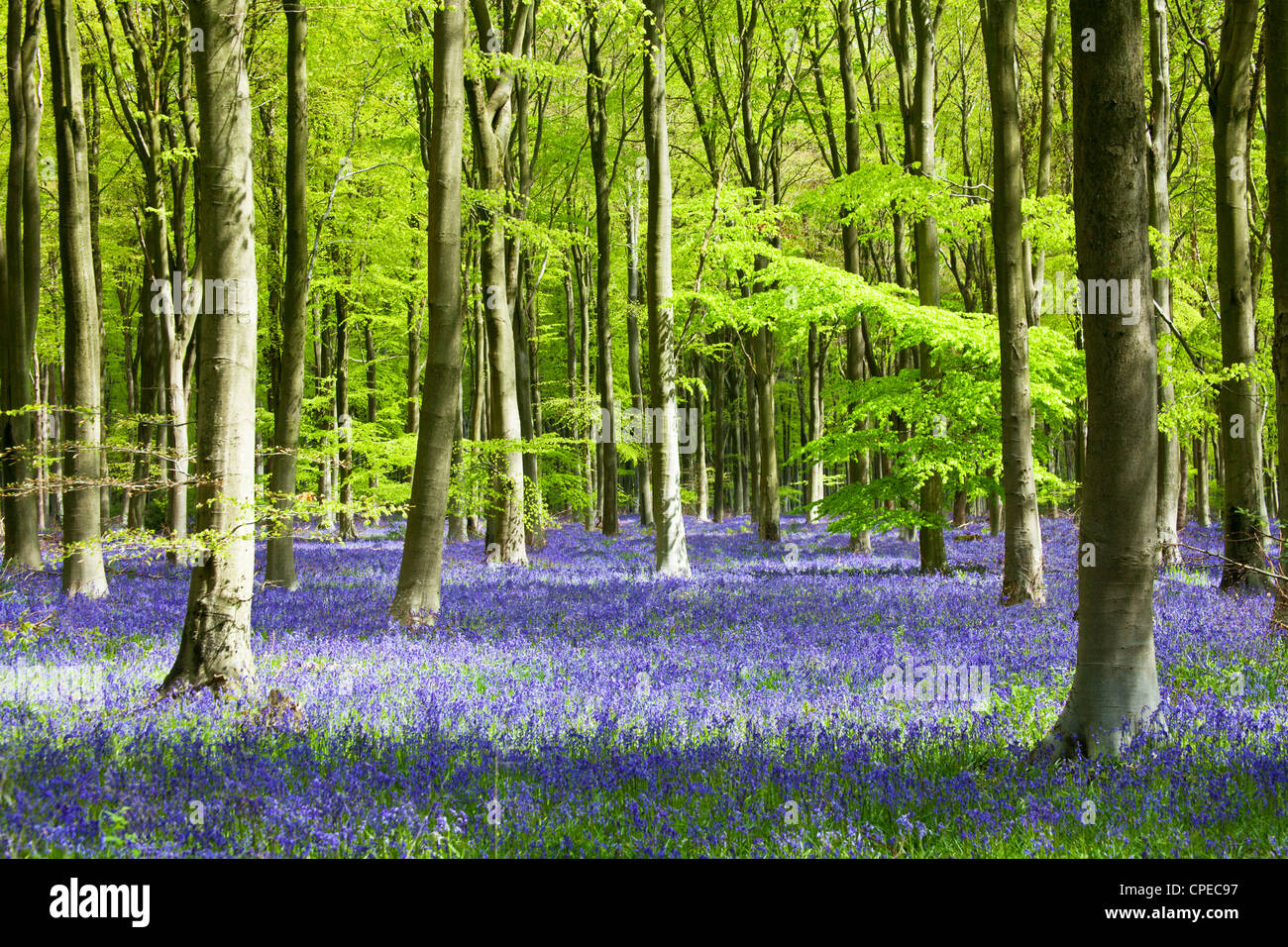 Dappled sunshine falls through fresh green foliage in a beechwood of bluebells in England, UK Stock Photo