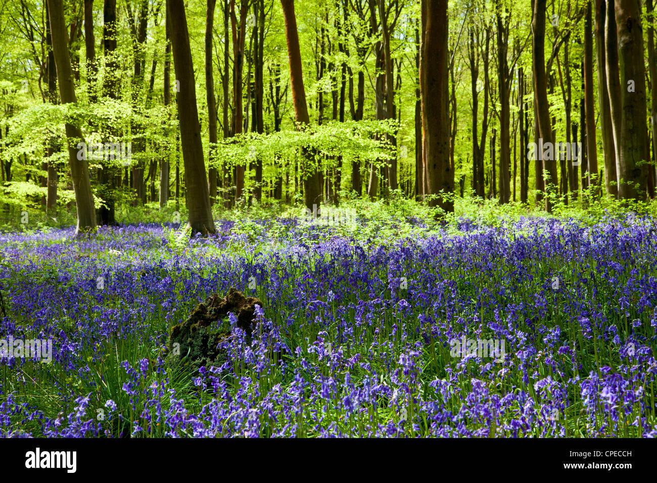 Dappled sunshine falls through fresh green foliage in a beechwood of bluebells in England, UK Stock Photo