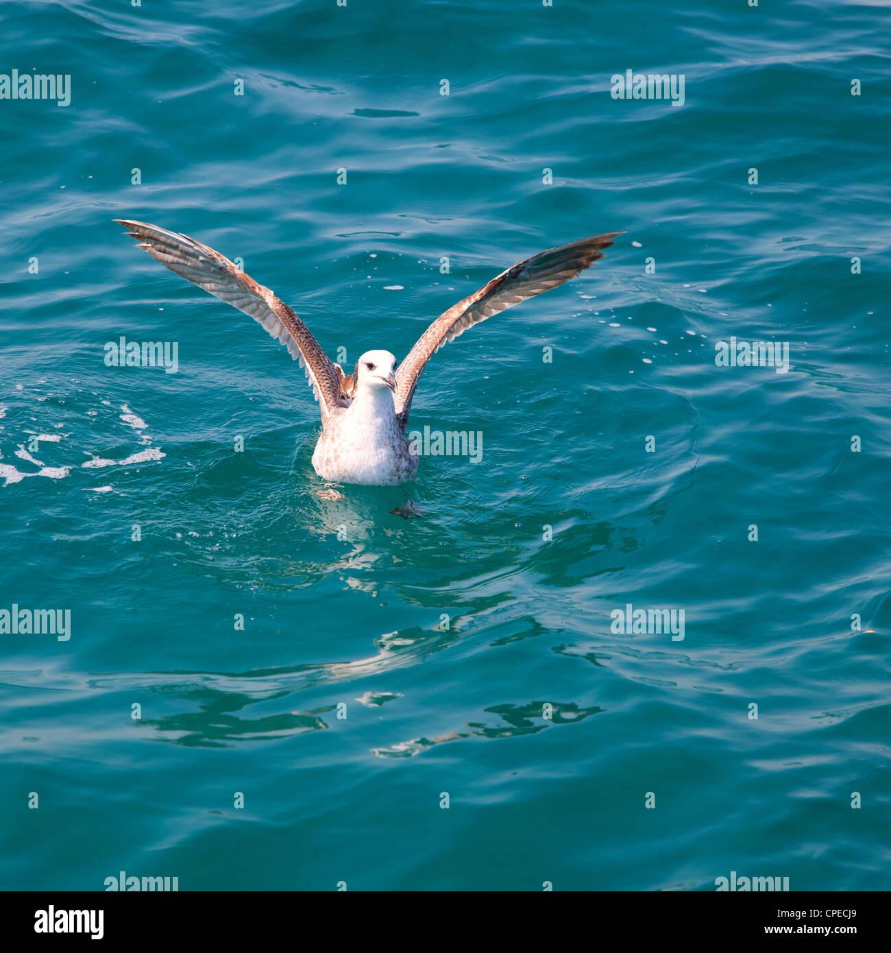 bird seagull on sea water in blue ocean - Stock Image
