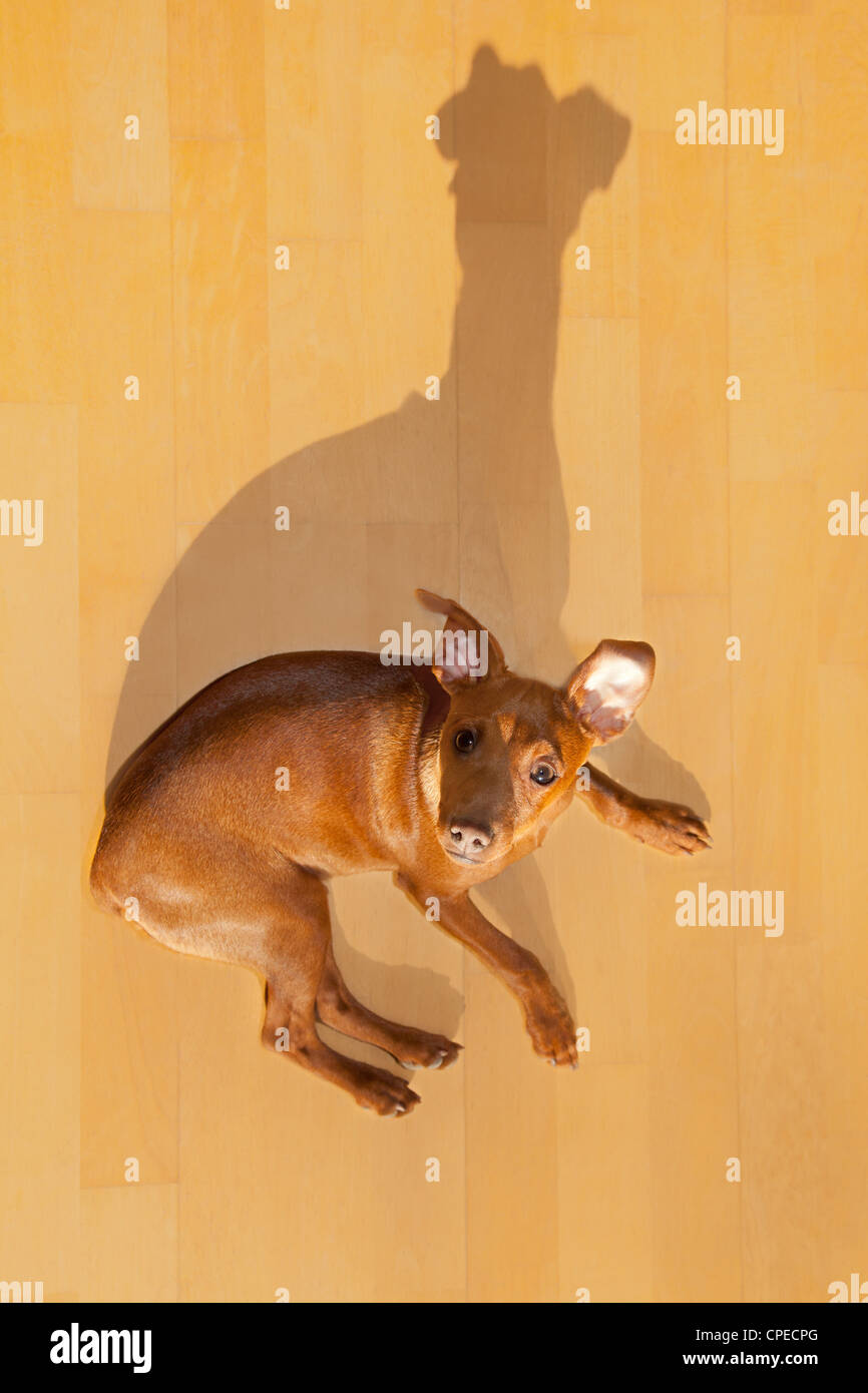 dog mini pinscher lying on wooden floor with funny shadow - Stock Image