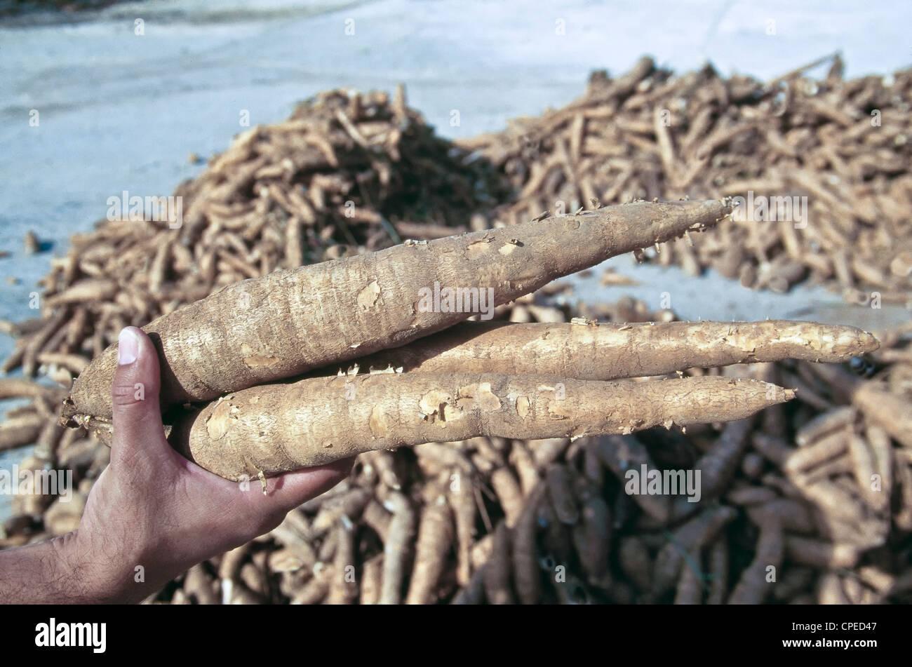 Cassava roots, harvest, Thailand - Stock Image