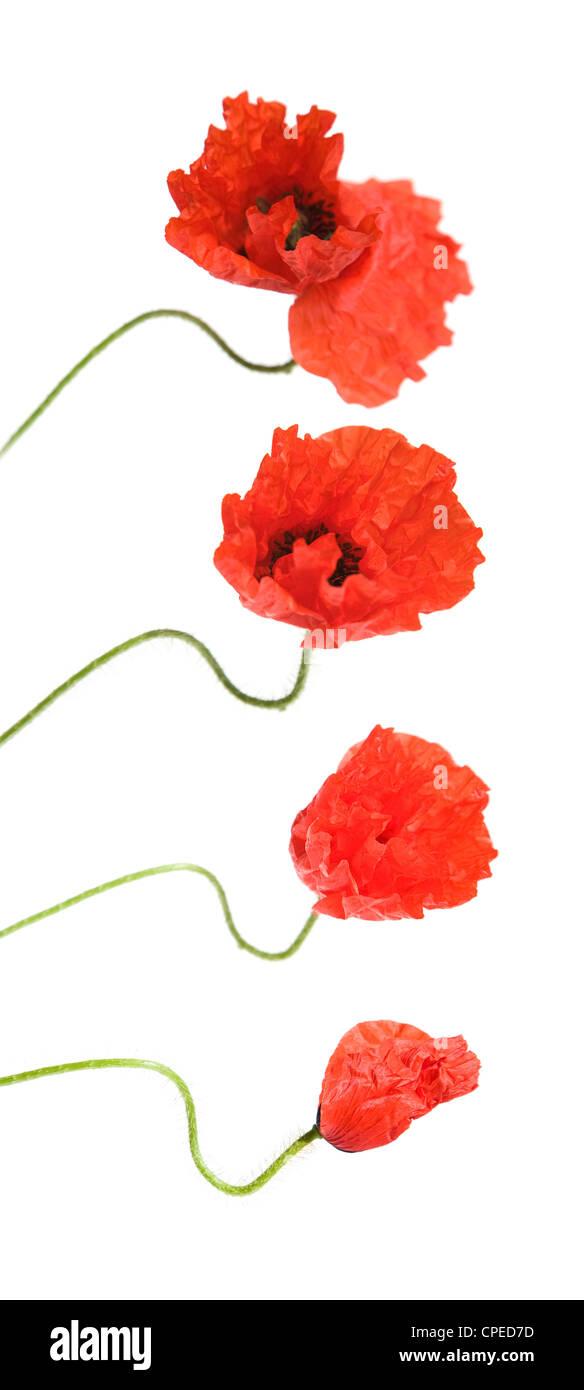 opening poppy flower - Stock Image