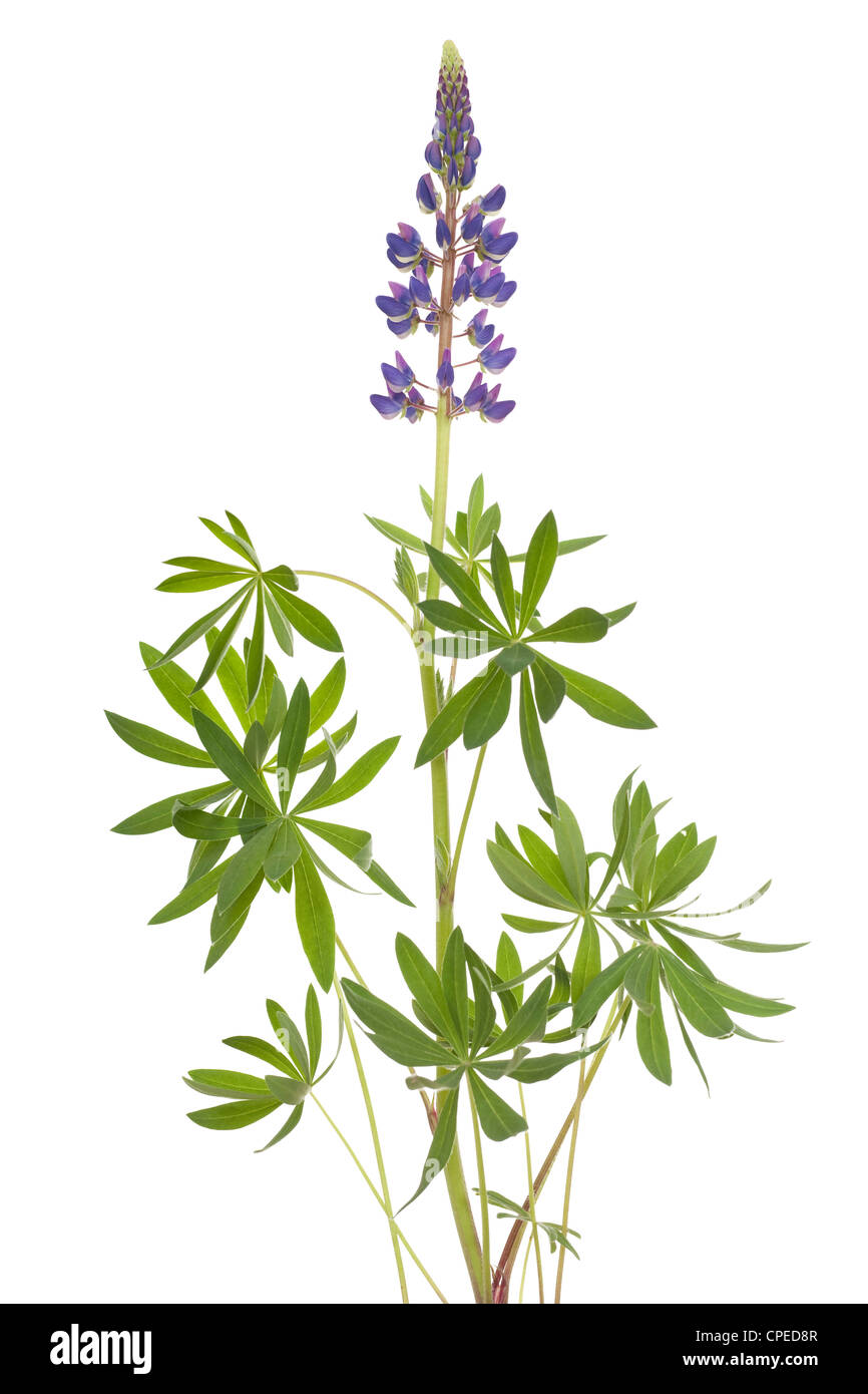 single flower of lupine with leaf on white - Stock Image