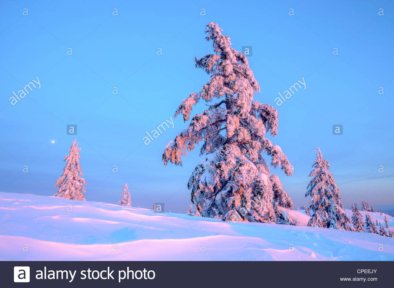Snow clad trees, Winter, Mount Seymour Provincial Park, North Vancouver, British Columbia, Canada - Stock Image