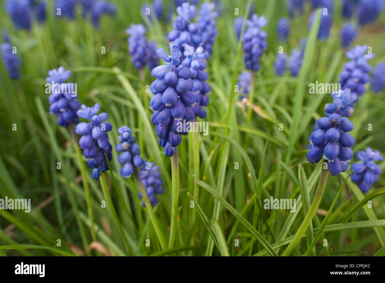 Small grape hyacinth flowering in Spring common grape hyacinth Muscari botryoides amongst germinating grass Stock Photo