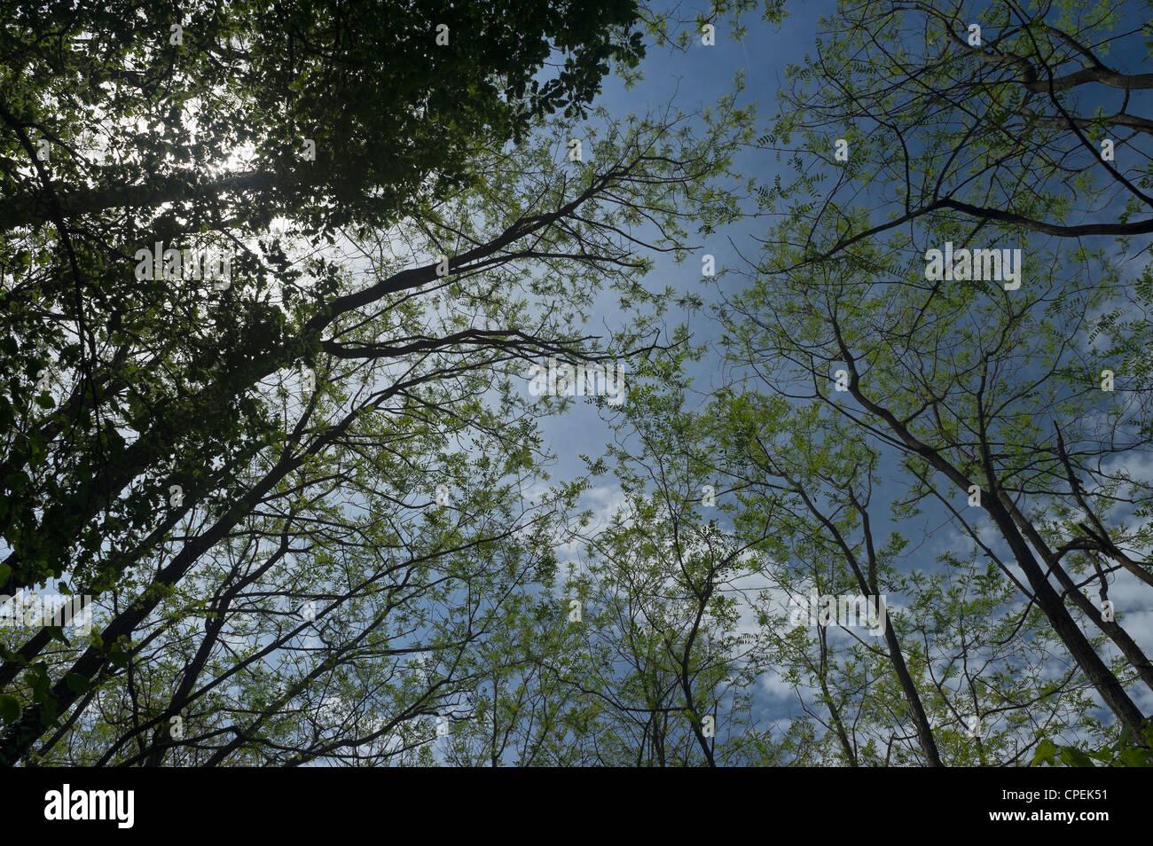 acacias - Stock Image