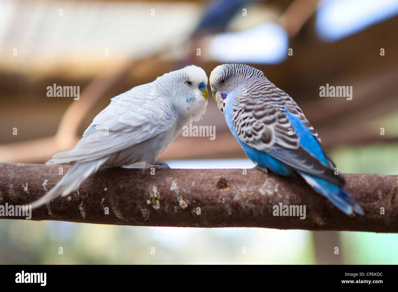 Two Budgies interacting on a tree branch at Butterfly World, Klapmuts, South Africa Stock Photo