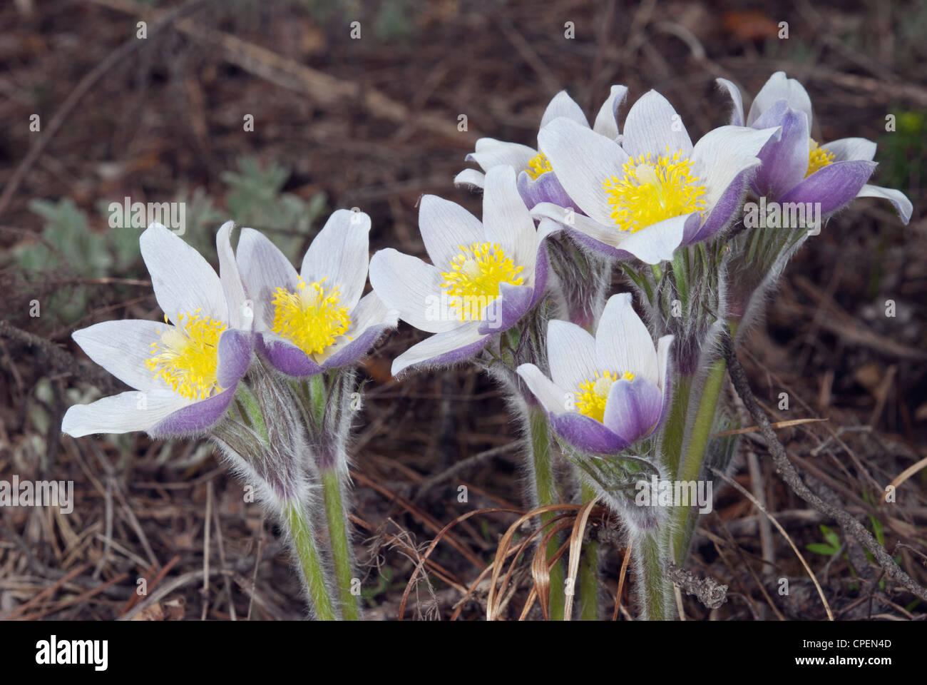 Pasque-flower (Pulsatilla patens, P. latifolia) - Stock Image