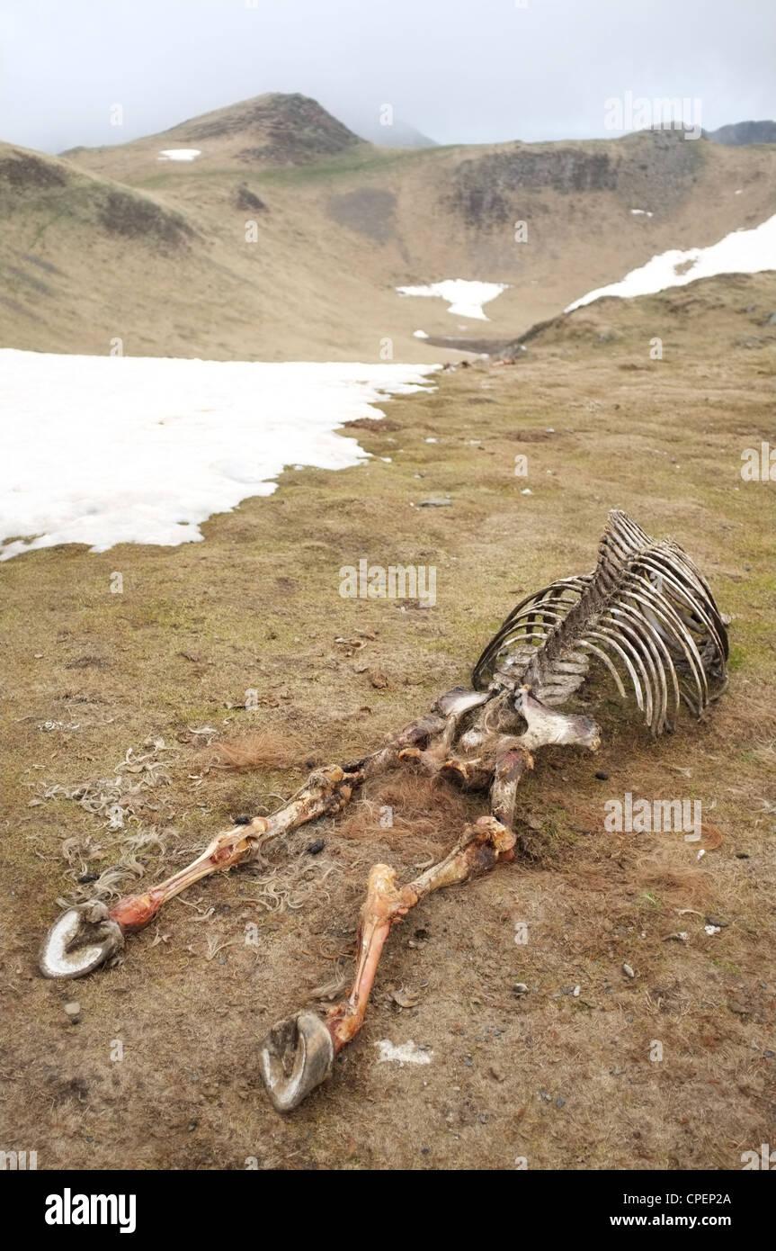 Bones of a dead horse left near the Col de Pause, Ariege, Midi-Pyrenees, France. - Stock Image