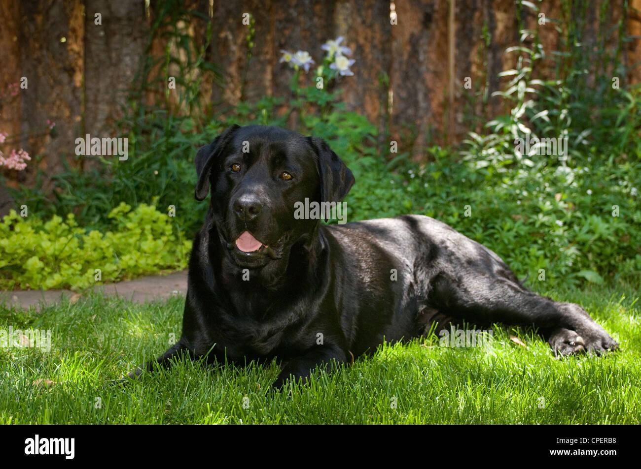 Black labrador retriever lying down - Stock Image