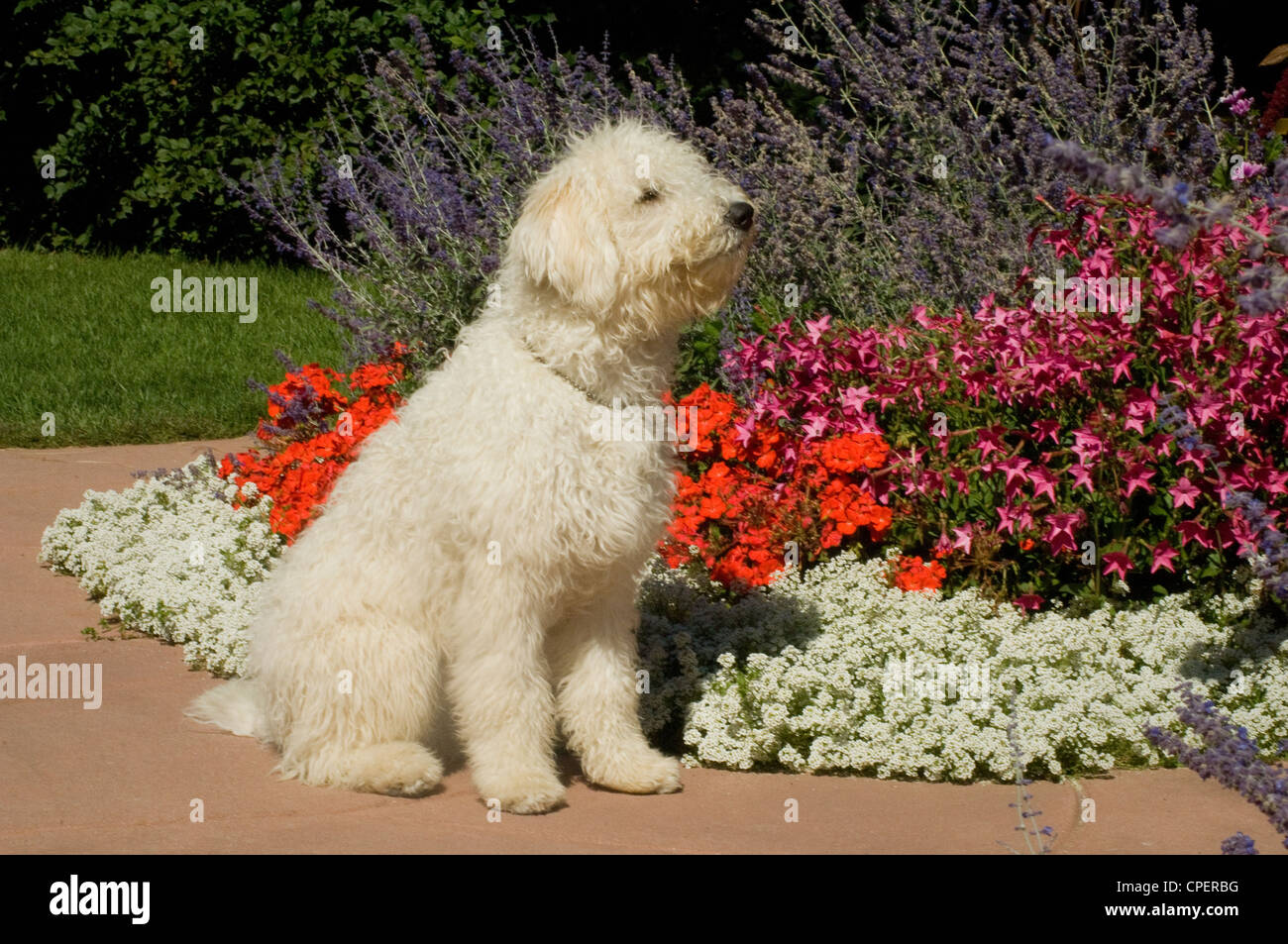 Komondor Puppy Sitting Stock Photo 48268852 Alamy